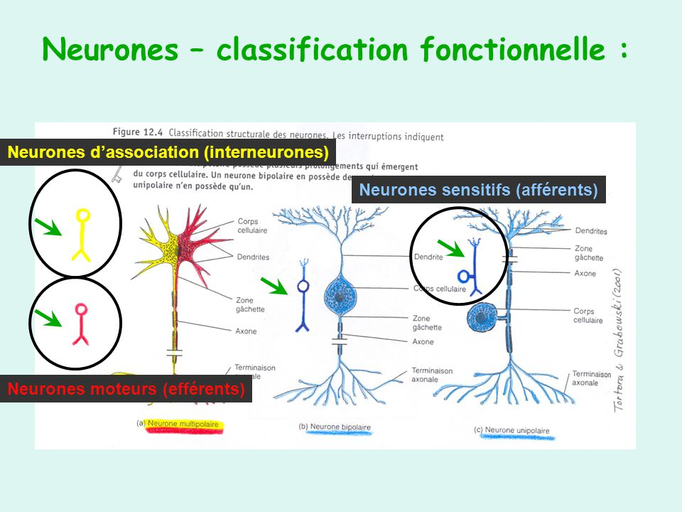 Neurones – classification fonctionnelle :