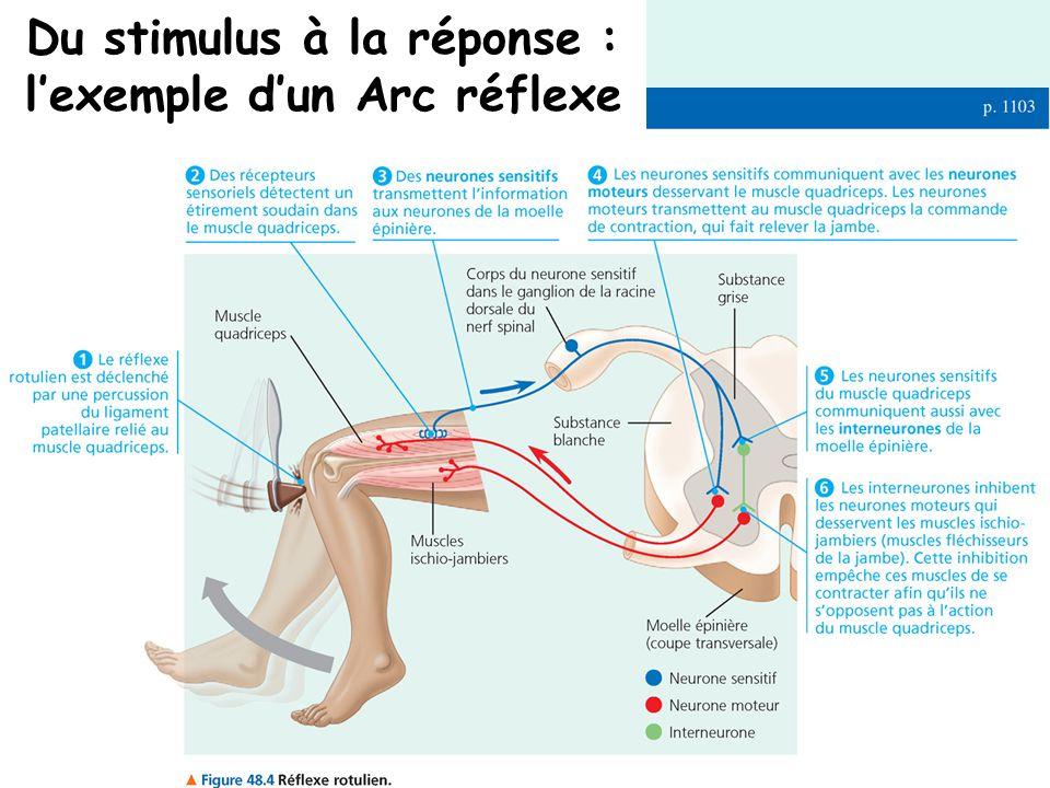 Du stimulus à la réponse : l'exemple d'un Arc réflexe