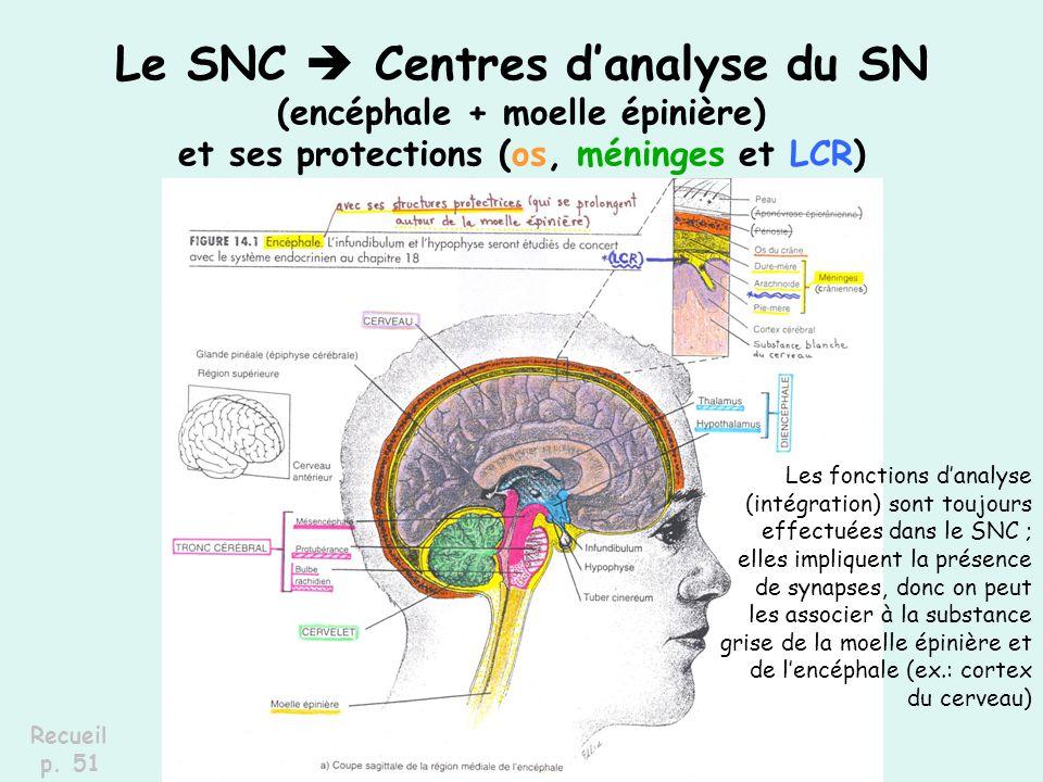Le SNC  Centres d'analyse du SN (encéphale + moelle épinière) et ses protections (os, méninges et LCR)
