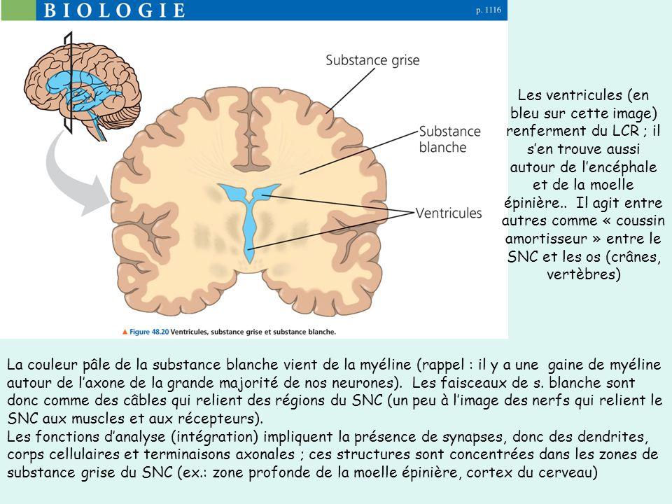 Les ventricules (en bleu sur cette image) renferment du LCR ; il s'en trouve aussi autour de l'encéphale et de la moelle épinière.. Il agit entre autres comme « coussin amortisseur » entre le SNC et les os (crânes, vertèbres)