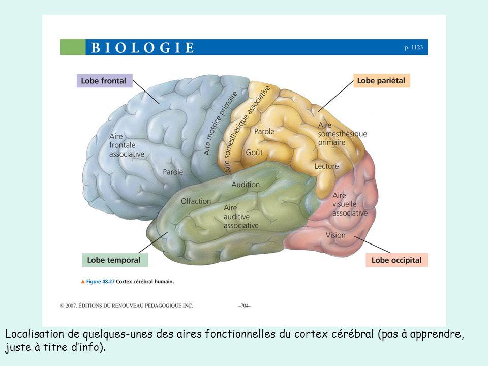 Localisation de quelques-unes des aires fonctionnelles du cortex cérébral (pas à apprendre, juste à titre d'info).