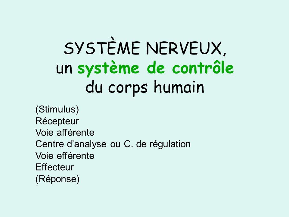 SYSTÈME NERVEUX, un système de contrôle du corps humain