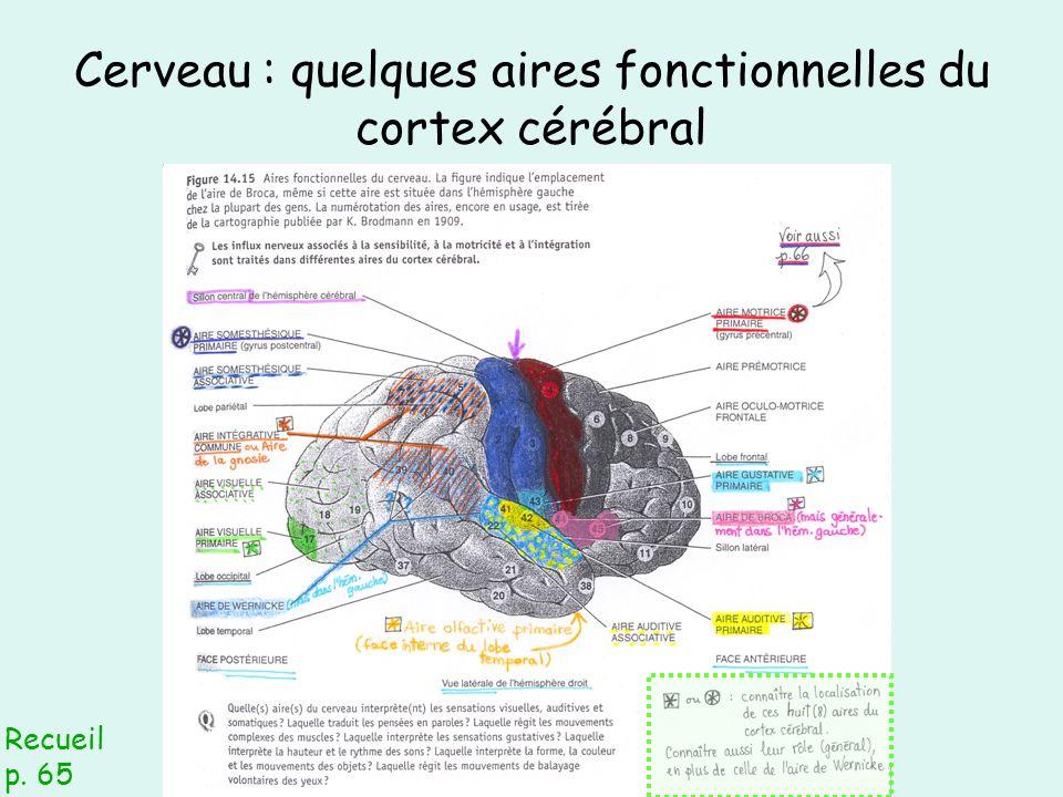 Cerveau : quelques aires fonctionnelles du cortex cérébral