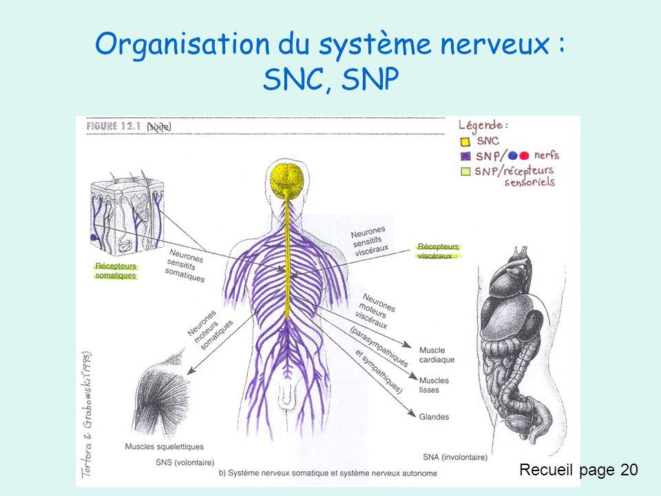 Organisation du système nerveux : SNC, SNP