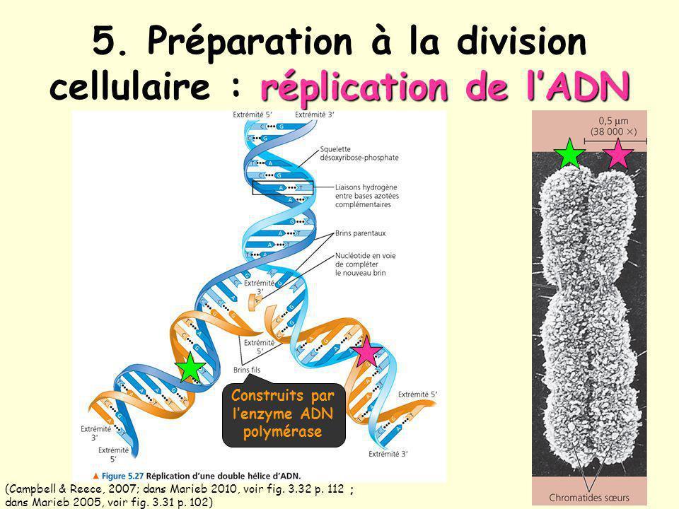 5. Préparation à la division cellulaire : réplication de l'ADN