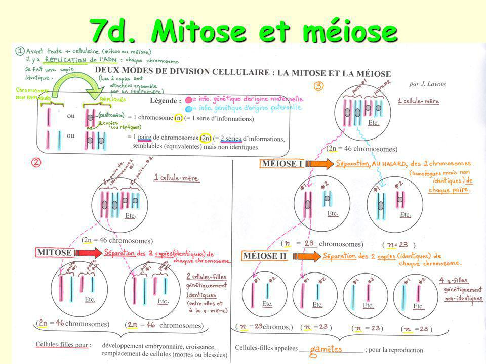 7d. Mitose et méiose
