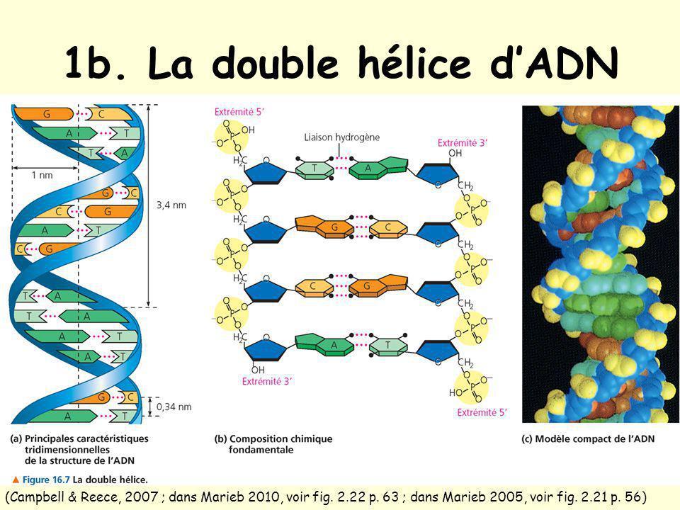 1b. La double hélice d'ADN