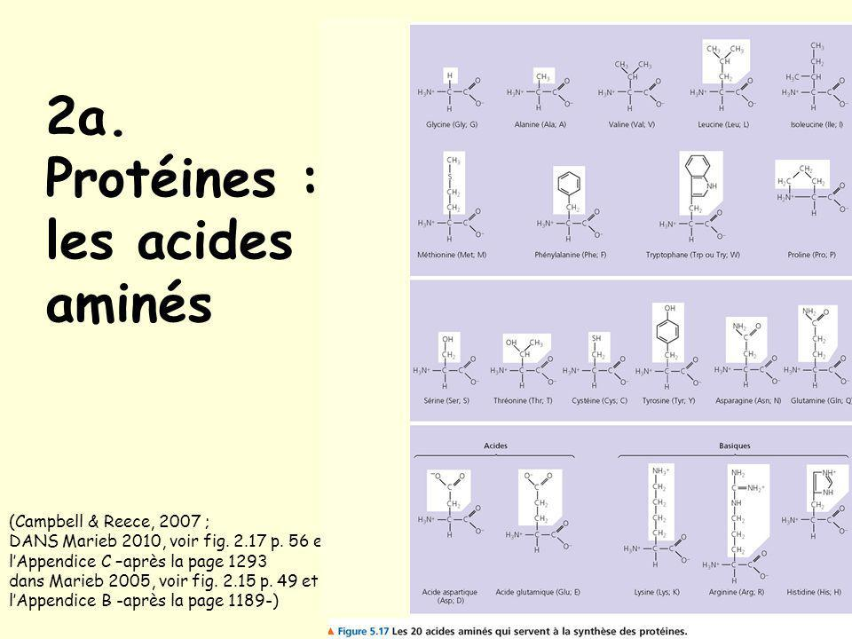 2a. Protéines : les acides aminés