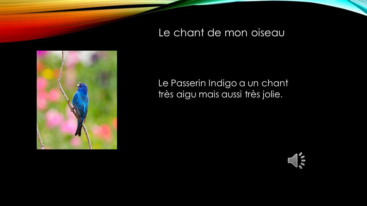 Le chant de mon oiseau Le Passerin Indigo a un chant très aigu mais aussi très jolie.