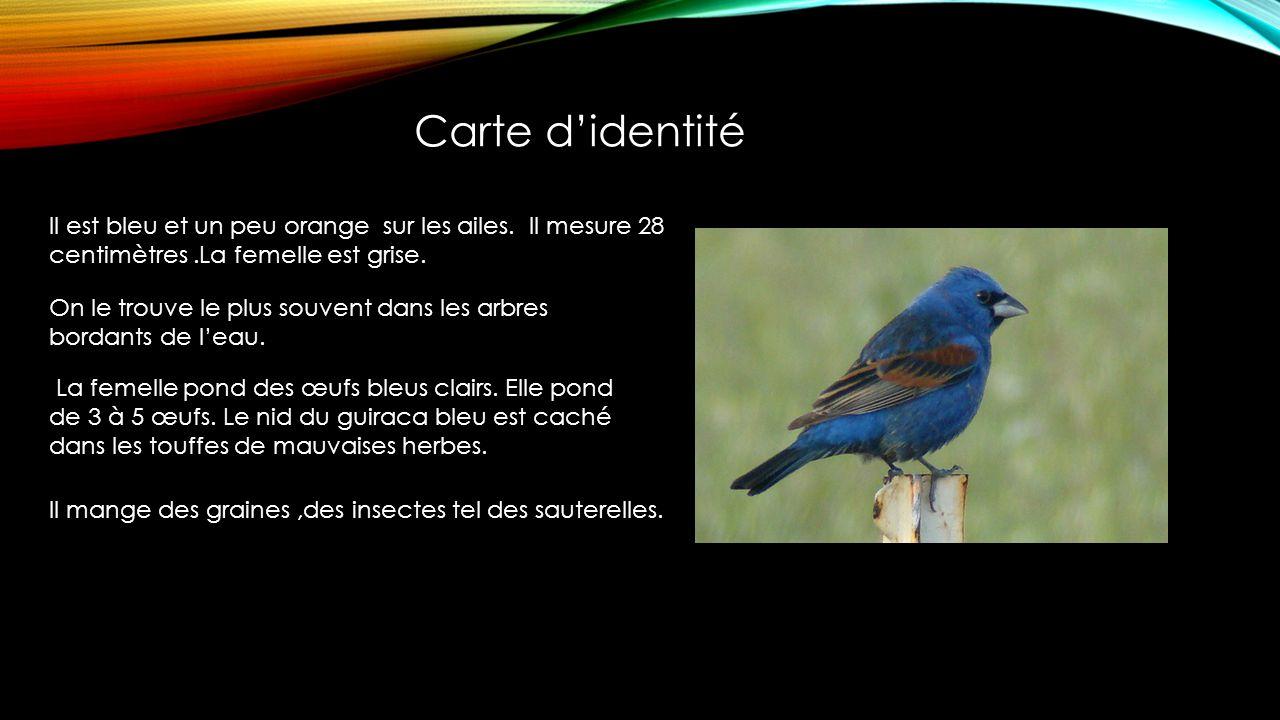 Carte d'identité Il est bleu et un peu orange sur les ailes. Il mesure 28 centimètres .La femelle est grise.