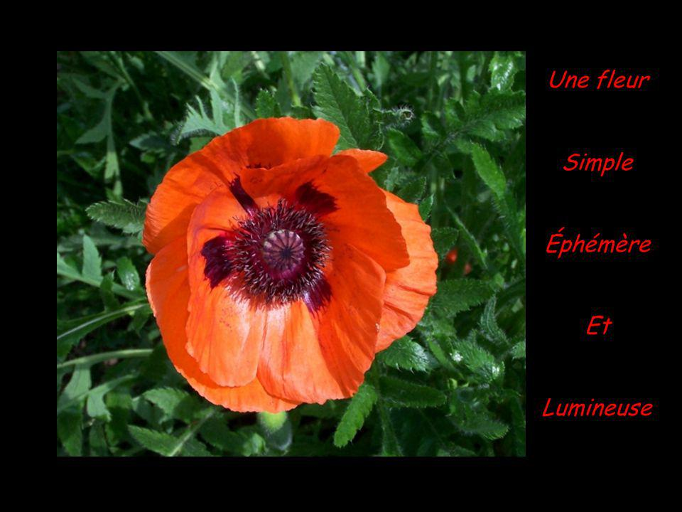 Une fleur Simple Éphémère Et Lumineuse