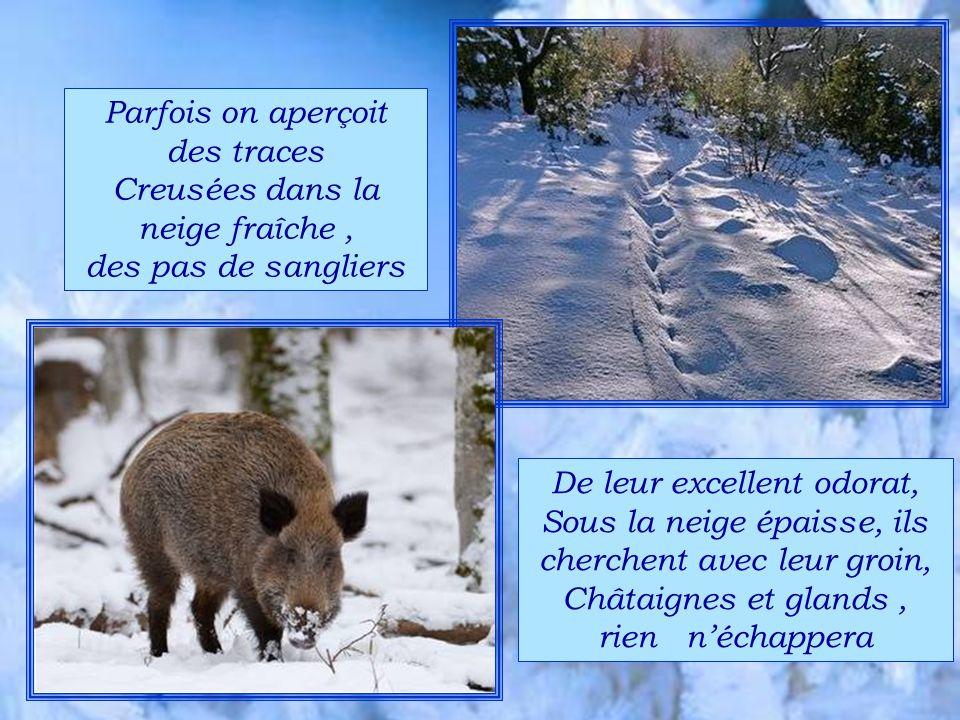 Parfois on aperçoit des traces Creusées dans la neige fraîche , des pas de sangliers