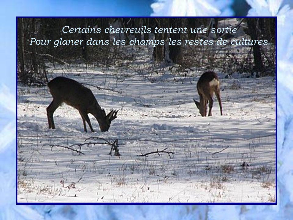 Certains chevreuils tentent une sortie Pour glaner dans les champs les restes de cultures
