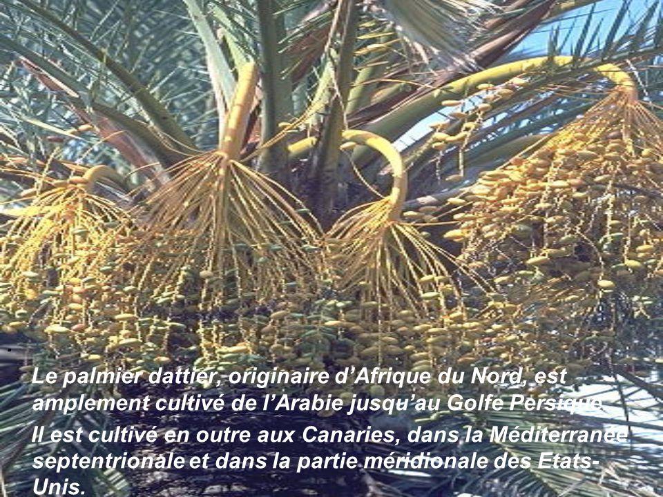 . Le palmier dattier, originaire d'Afrique du Nord, est amplement cultivé de l'Arabie jusqu'au Golfe Persique.