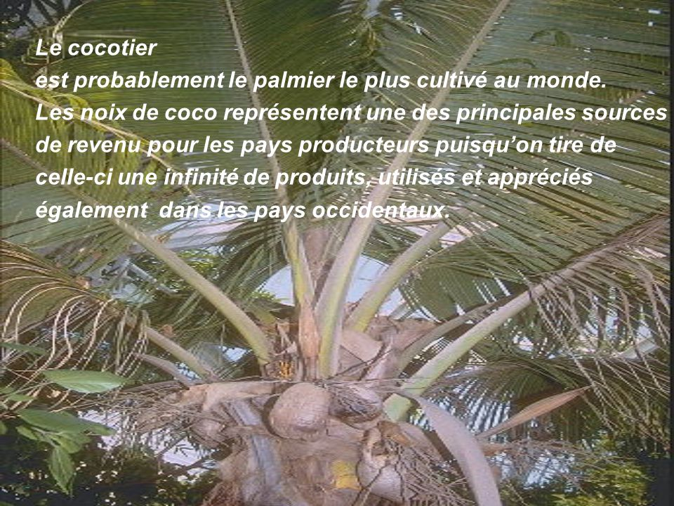Le cocotier est probablement le palmier le plus cultivé au monde. Les noix de coco représentent une des principales sources.