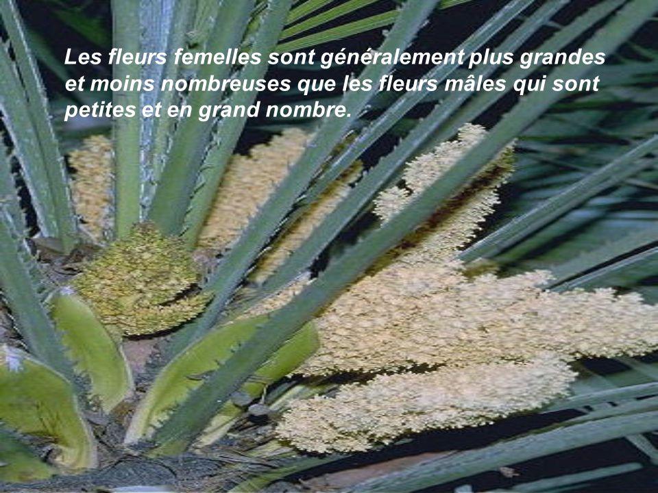 Les fleurs femelles sont généralement plus grandes et moins nombreuses que les fleurs mâles qui sont petites et en grand nombre.
