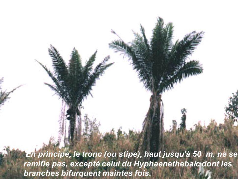 En principe, le tronc (ou stipe), haut jusqu à 50 m, ne se ramifie pas, excepté celui du En principe, le tronc (ou stipe), haut jusqu à 50 m, ne se ramifie pas, excepté celui du Hyphaene thebaica dont les branches bifurquent maintes fois.