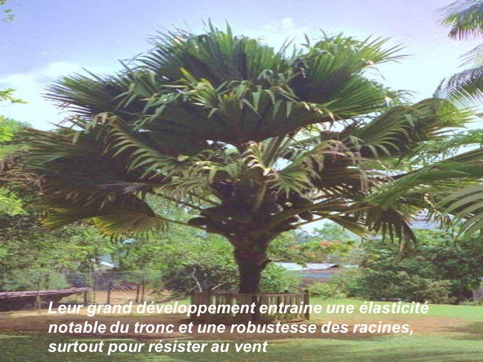 . Leur grand développement entraine une élasticité notable du tronc et une robustesse des racines, surtout pour résister au vent.