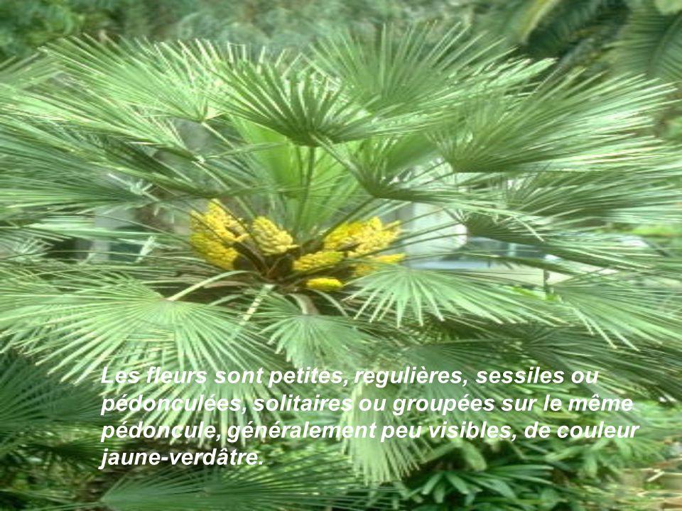 Les fleurs sont petites, regulières, sessiles ou pédonculées, solitaires ou groupées sur le même pédoncule, généralement peu visibles, de couleur jaune-verdâtre.