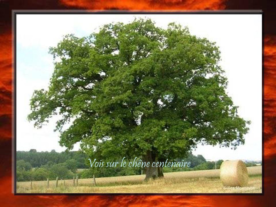 Vois sur le chêne centenaire