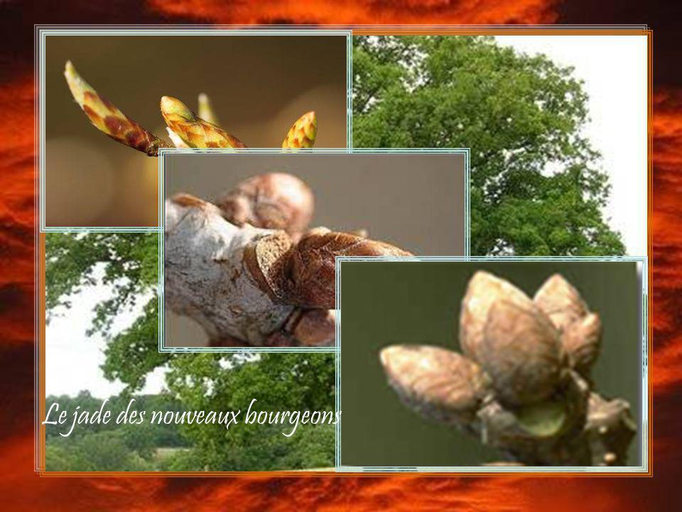 Le jade des nouveaux bourgeons