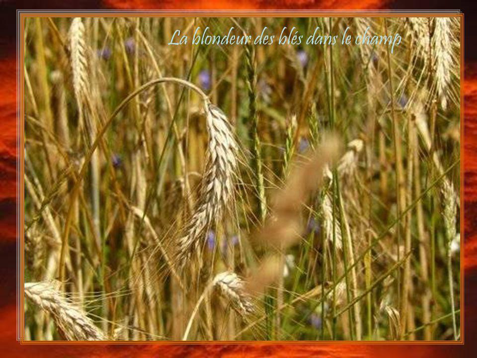 La blondeur des blés dans le champ