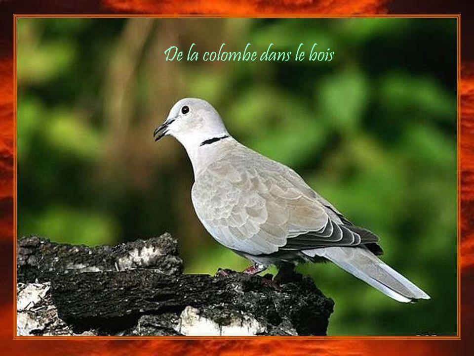 De la colombe dans le bois