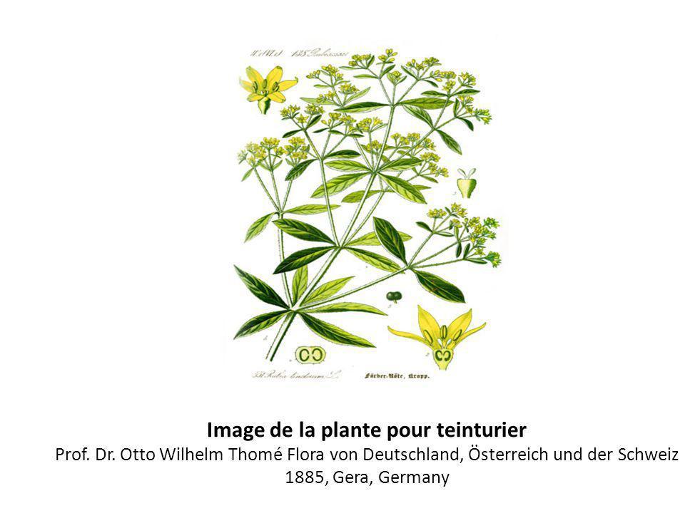 Image de la plante pour teinturier