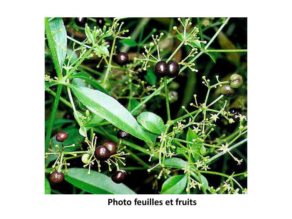 Photo feuilles et fruits