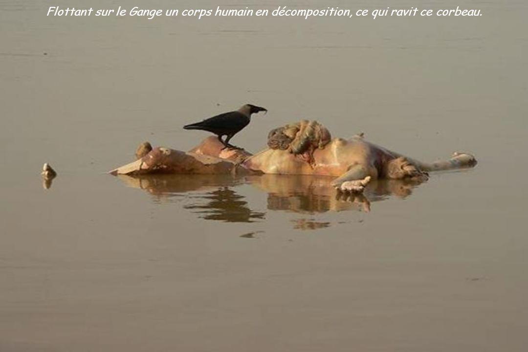 Flottant sur le Gange un corps humain en décomposition, ce qui ravit ce corbeau.
