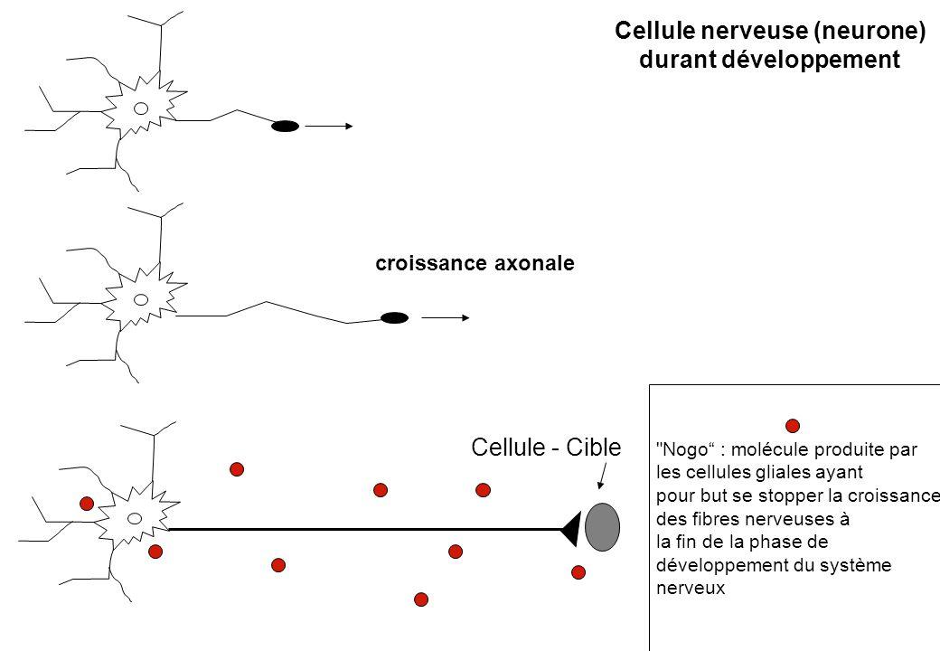 Cellule nerveuse (neurone)