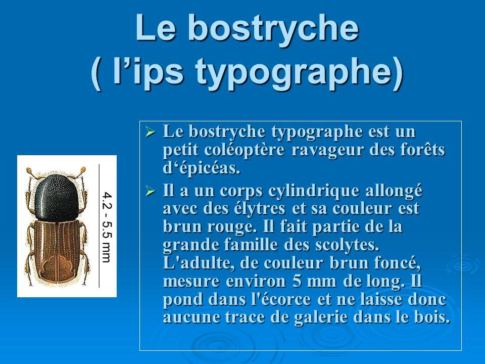 Le bostryche ( l'ips typographe)