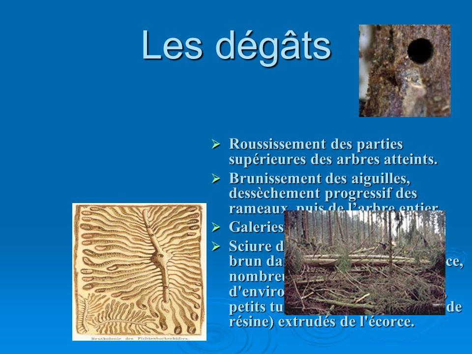 Les dégâts Roussissement des parties supérieures des arbres atteints.