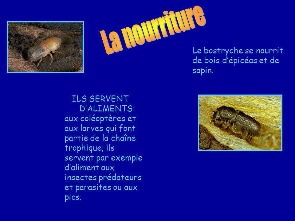 La nourriture Le bostryche se nourrit de bois d'épicéas et de sapin.