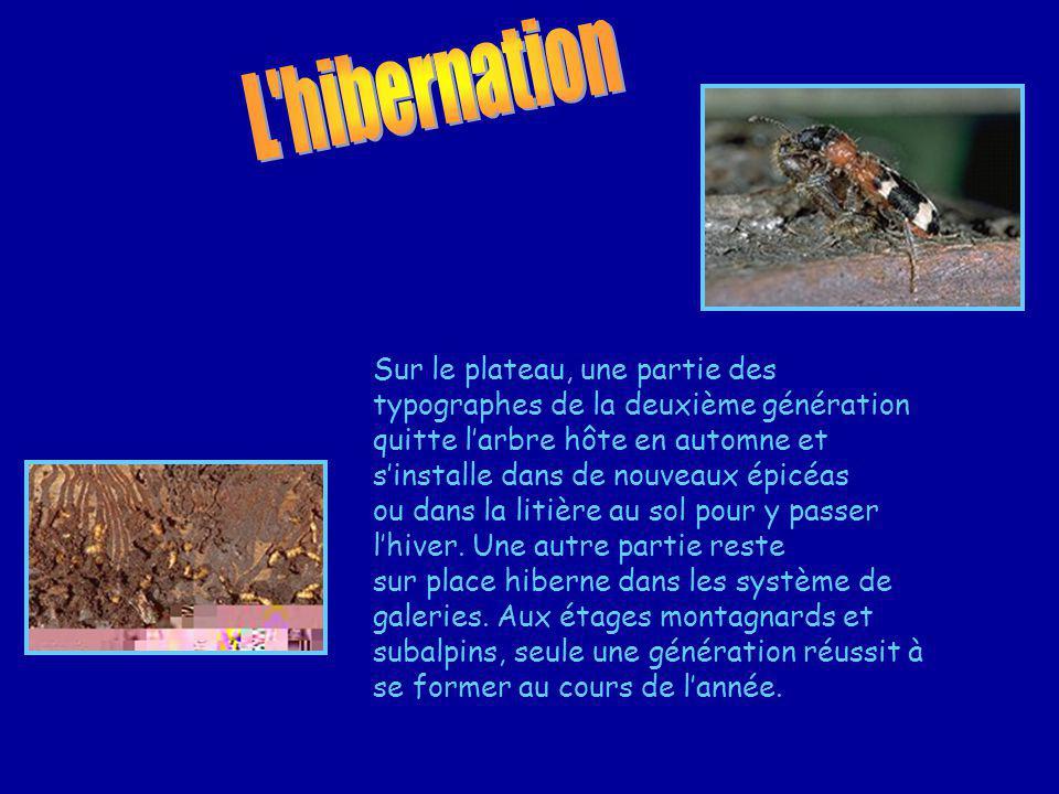 L hibernation Sur le plateau, une partie des typographes de la deuxième génération.