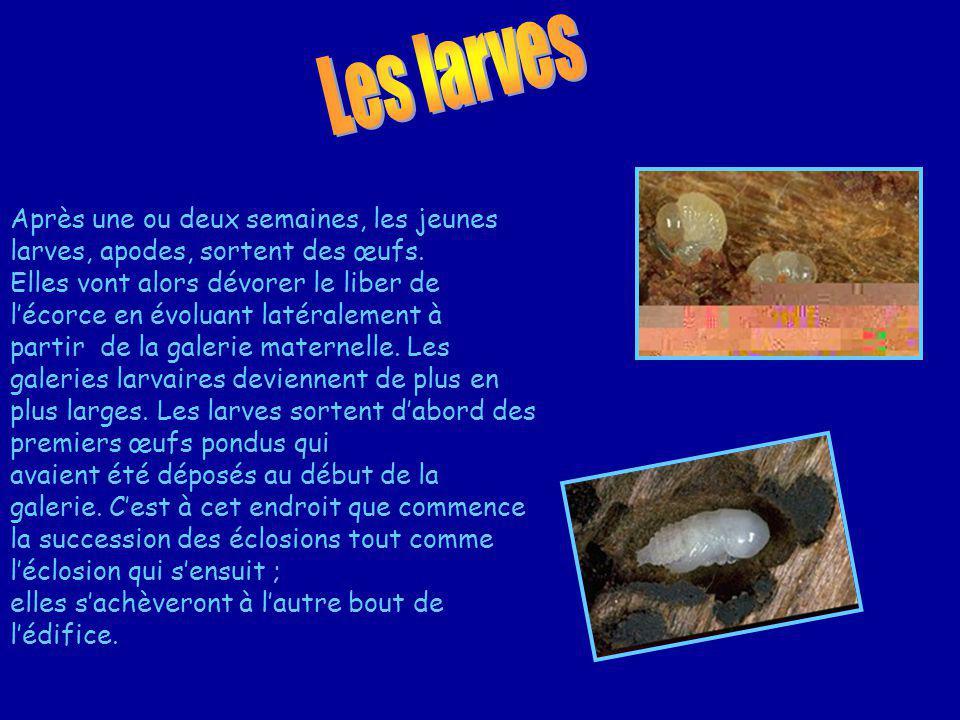Les larves Après une ou deux semaines, les jeunes larves, apodes, sortent des œufs.
