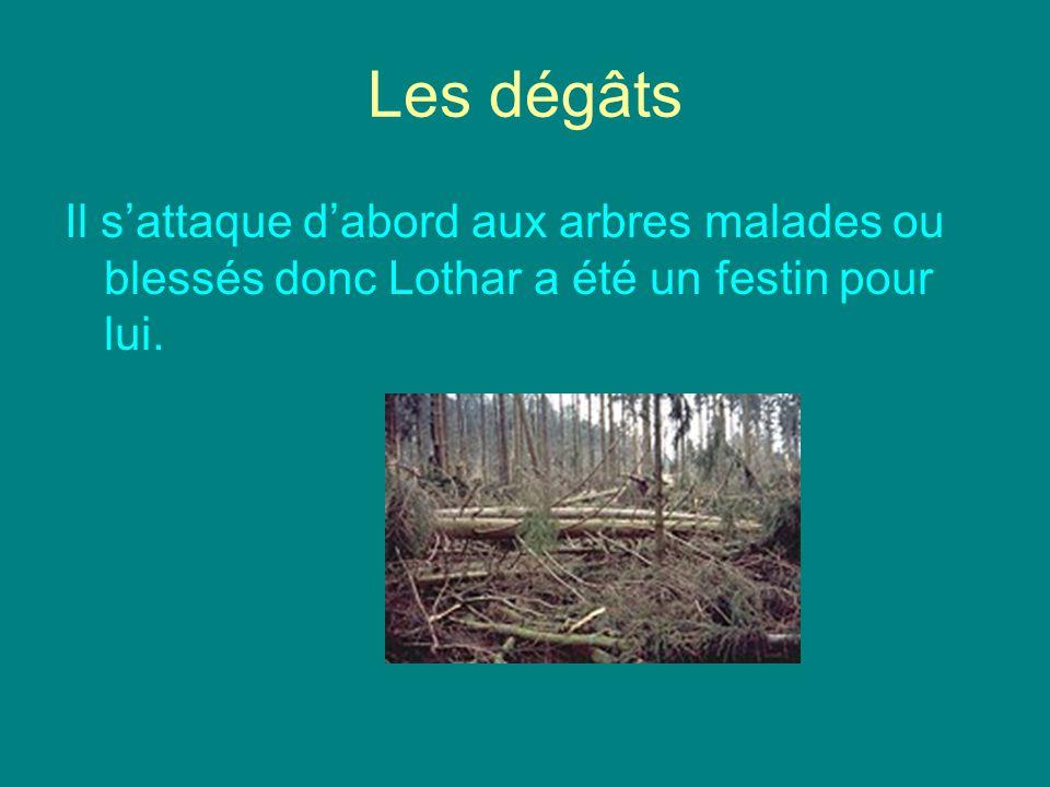 Les dégâts Il s'attaque d'abord aux arbres malades ou blessés donc Lothar a été un festin pour lui.