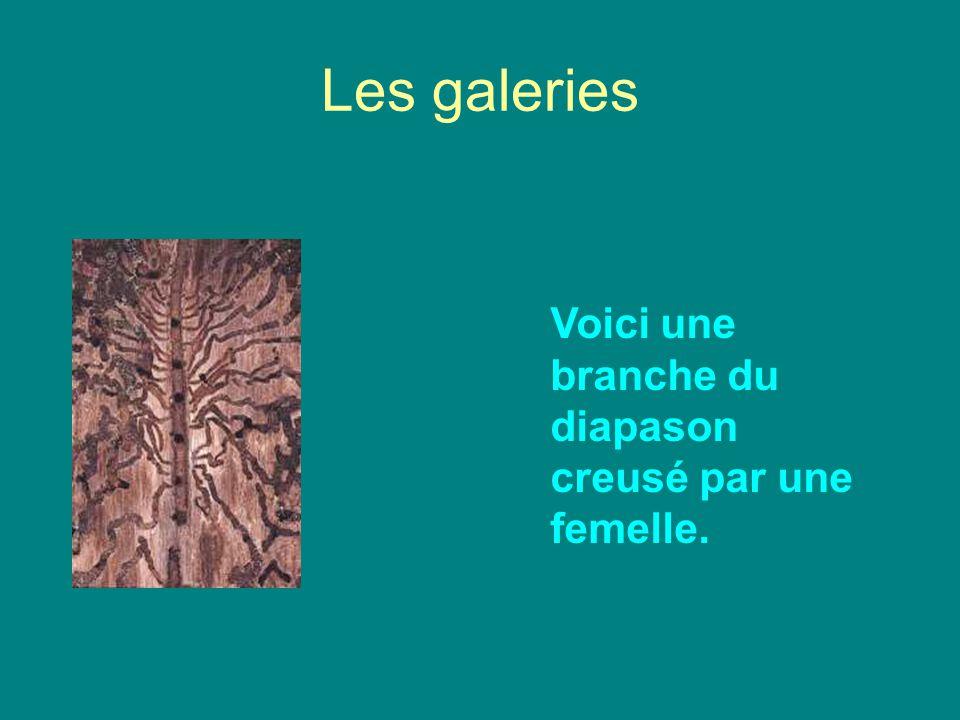 Les galeries Voici une branche du diapason creusé par une femelle.