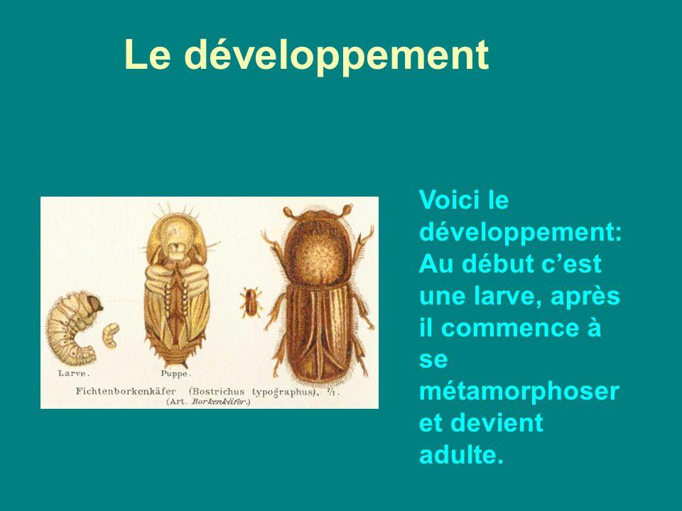 Le développement Voici le développement:Au début c'est une larve, après il commence à se métamorphoser et devient adulte.