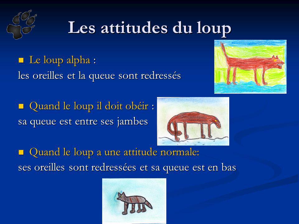 Les attitudes du loup Le loup alpha :