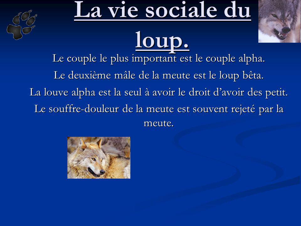 La vie sociale du loup. Le couple le plus important est le couple alpha. Le deuxième mâle de la meute est le loup bêta.