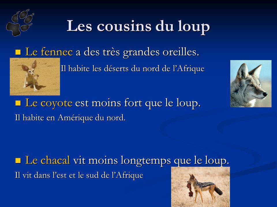 Les cousins du loup Le fennec a des très grandes oreilles.