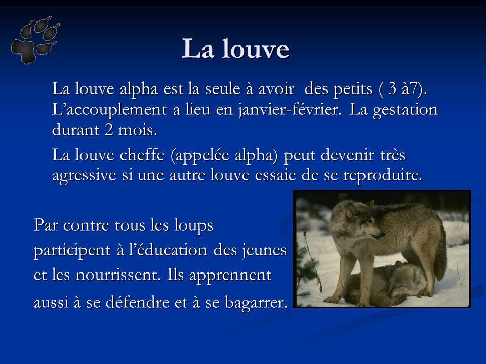 La louve La louve alpha est la seule à avoir des petits ( 3 à7). L'accouplement a lieu en janvier-février. La gestation durant 2 mois.