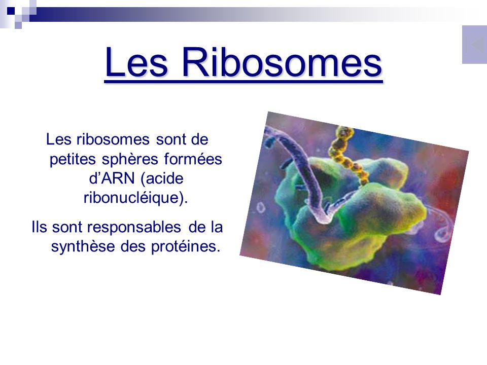 Ils sont responsables de la synthèse des protéines.