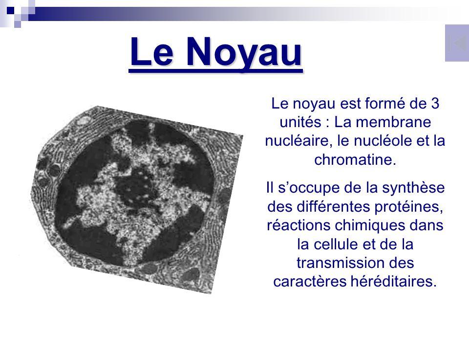 Le Noyau Le noyau est formé de 3 unités : La membrane nucléaire, le nucléole et la chromatine.