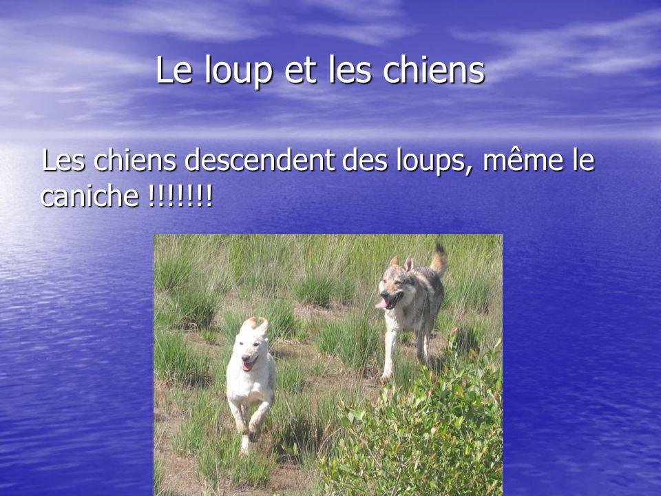 Le loup et les chiens Les chiens descendent des loups, même le caniche !!!!!!!