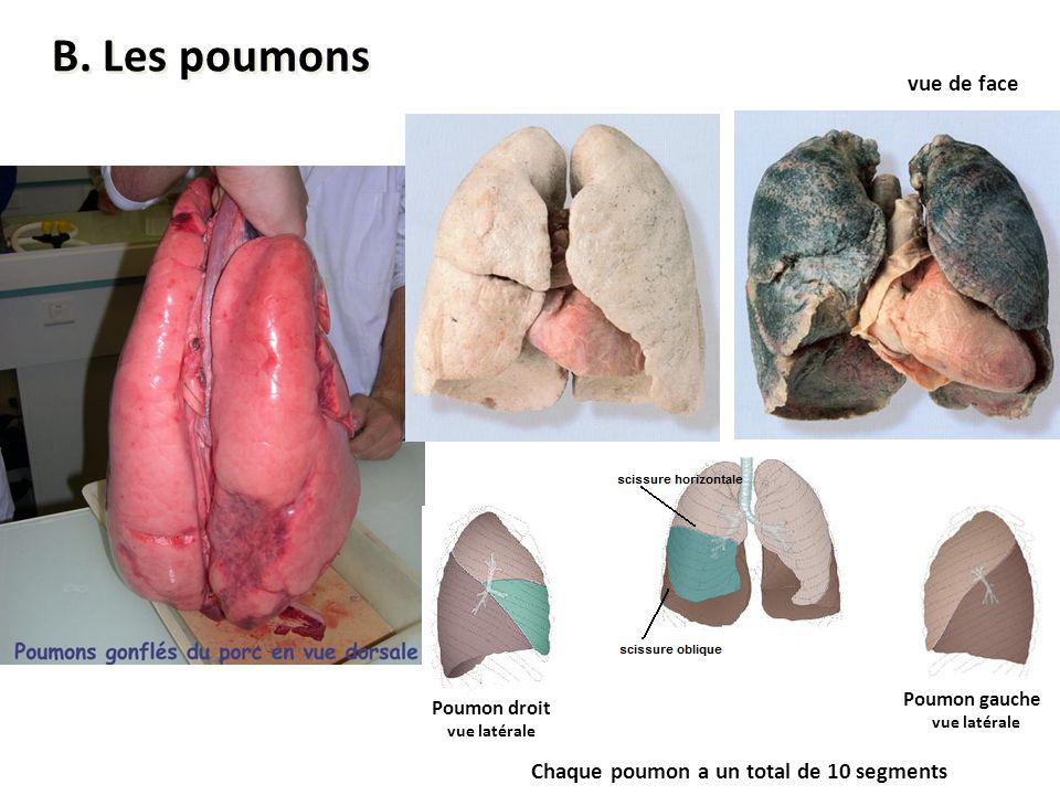 B. Les poumons vue de face Chaque poumon a un total de 10 segments