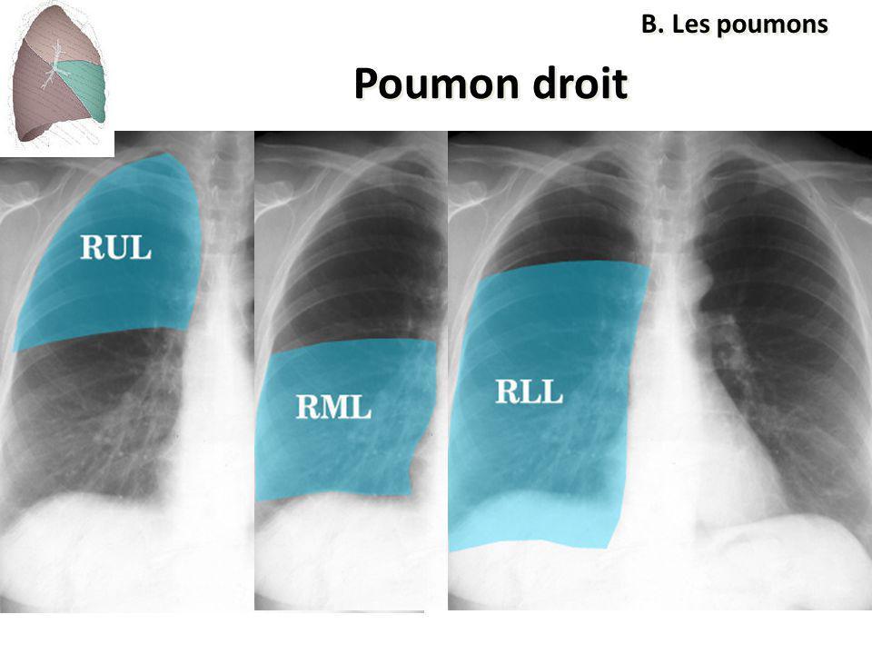 B. Les poumons Poumon droit