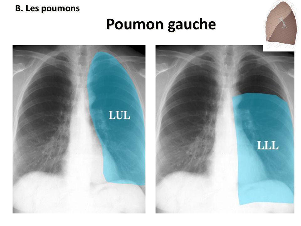 B. Les poumons Poumon gauche