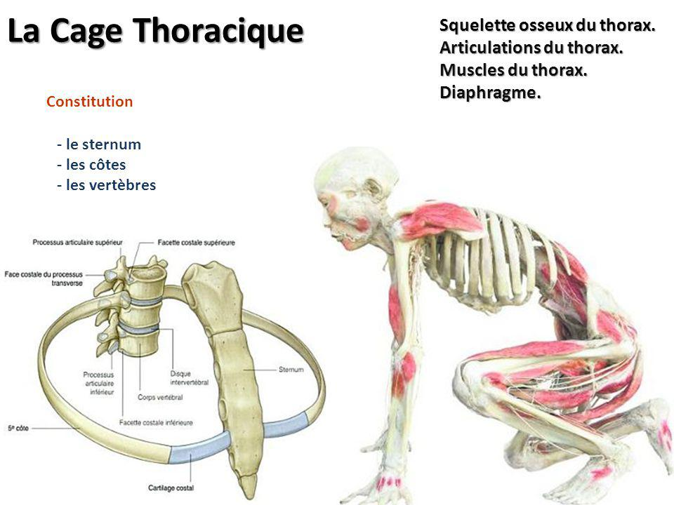 La Cage Thoracique Squelette osseux du thorax. Articulations du thorax. Muscles du thorax. Diaphragme.